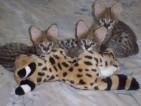 Loving Kitten for sale