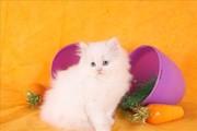 cute adorable female white teacup doll face Persian kitten for adoptio