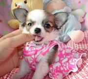 Mini teacup Chihuahuas to forgive Beige,  White,  Black and Tricolor