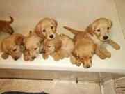 Golden Retriever Puppies AKC Registered