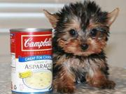 Adorable And Lovely TeaCup Yorkie Puppies For Adoption contact via(joh