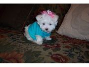 adorable maltese puppiese for free adoption