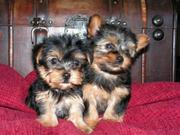 female and male yorkie puuppies for adoption