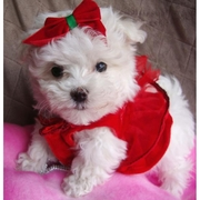 Tiny Male and Female Maltese Puppies For A Home