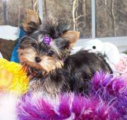 outstanding yorkie puppies for free