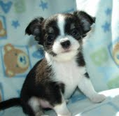 outstanding male and female chihuahua puppies free for adoption