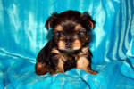 two yorkie puppies for adoption