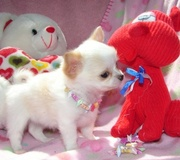 cute lovely chihuahua puppies free for adoption