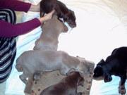 DOBERMAN PUPPIES FOR SALE 350