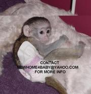 Dream come True baby face capuchin monkeys for Adoption