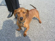 Dachshund in Need of Good Home