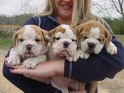 CUTE and Adorable CHRISTMAS English Bulldog Puppies For Adoption