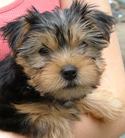 Perfect Yorkie Puppy Ready to go to lovely homeS for X-MASS