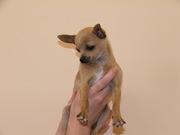 Christmas Chihuahua Looking for Re-homing.