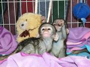 Adorable capuchin,  squirrel ,  spider and pygmy marmoset monkeys availa