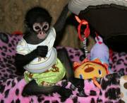 Spider Monkey for Adoption