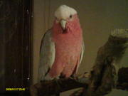 rose breast cockatoo